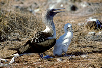 Blue Footed Booby and Chick (1993), NorthSeymour Island
