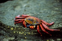 Sally Lightfoot Crab (1993), Santiago Island