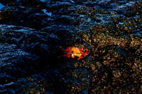 Sally Lightfoot Crab, Puerto Egas, Isla Santiago