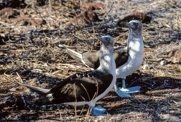 Blue Footed Booby (1993), Mating Dance, North Seymour