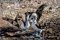 Blue Footed Booby (1993), Mating Dance