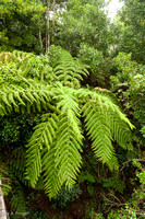 Tree ferns, Dorrigo National Park, Skywalk