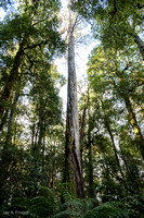 Antarctic Beech tree, Barrington Tops National Park