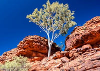 Ghost gum, red rock, blue sky - Kings Canyon