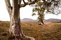 In the background the Cazneaux Tree, an old, large ghostgum near Walpena